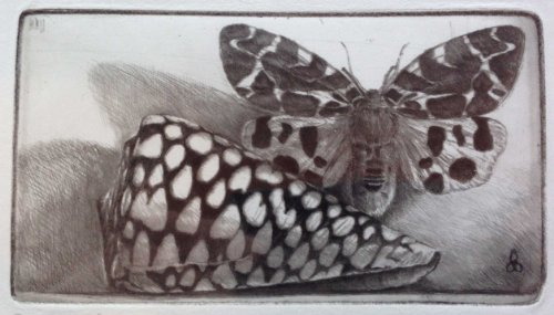 op306-rembrandt-shell-tiger-moth