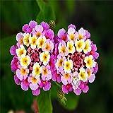 Fiori rari seme di fiore Lantana Camara semi 20pcs del mondo per il giardino di casa piantare fiori Semillas trasporto libero L055