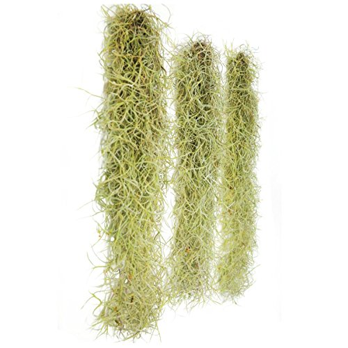 3 Pack - Spanish Moss Live Strands with Wire Hook - Air Plants - Tillandsia Usneoides - Farmed in Florida - Nursery Grown