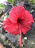 Hibiscus 'Red Hot' rosa-sinensis ~ Tropical Live Plant