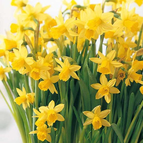 VALUE PACK - Narcissus Tete a Tete Bulbs (35 in Pack) - MULTI-STEMMED