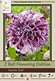 Netherland Bulb Company Marble Blue Ball Flowering Dahlia, 2 Bulbs