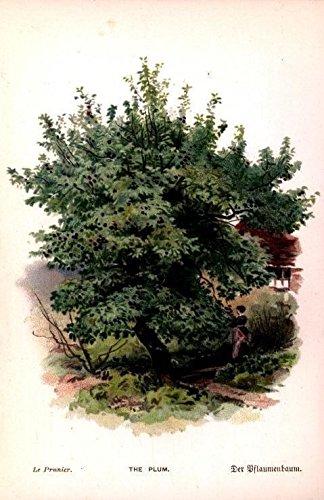 plum-tree-picking-fruit-harvest-c1885-antique-chromolithograph-nature-print