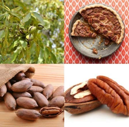 Flooring Wood Pecan (New Pecan 3 Tree Seeds Heirloom Non-GMO)