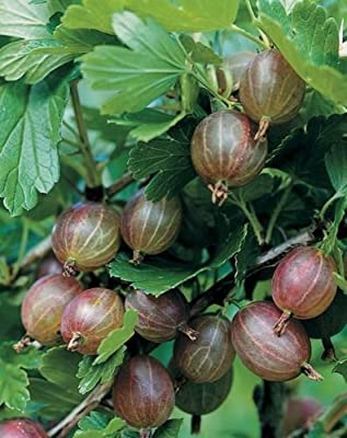 "Pixwell GOOSEBERRY ~Redish/Pink~ ""The Pie Maker's Favorite"" ~Fruit Bush~ SEEDS"