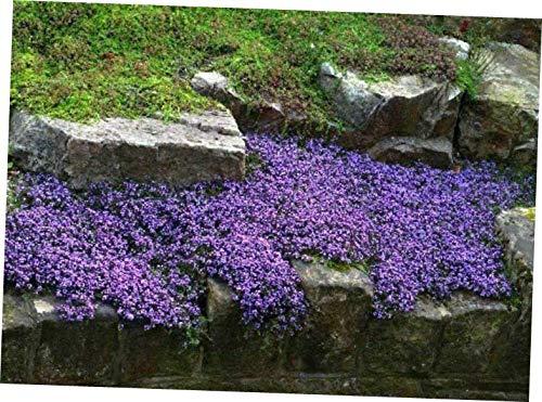 QIO Plants 10 Vinca Vine Live Plants Ground Cover Evergreen(Periwinkle,Creeping Myrtle) - RK25