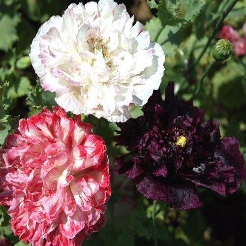 Peony Poppy Antique Shade Mix 500 seeds cottage garden Elegant CombSH B68 (Cottage Peony)