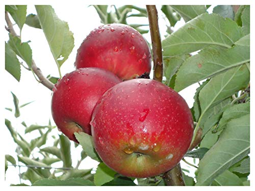 Gala Dwarf Apple Tree - healthy bare root Fruit Trees 2-4 Ft -1 Tree by Growers Solution by Grower's Solution