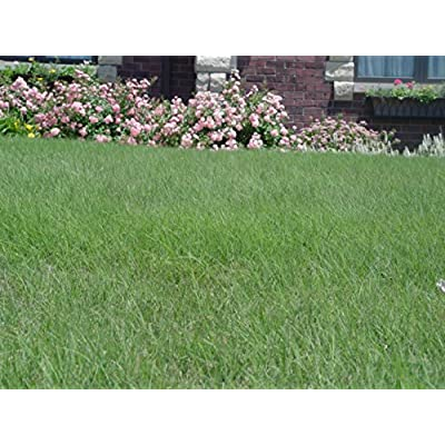 Legacy Buffalograss Plugs : Garden & Outdoor