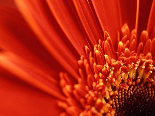 Orange Red Gerber Daisy -Oil Painting On Canvas Modern Wall Art Pictures For Home Decoration Wooden Framed (12X16 Inch, ()