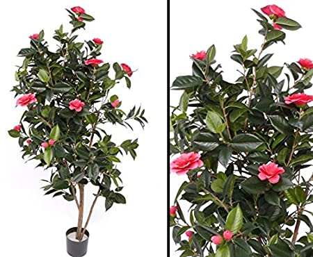 Camellias Camellia Japonica Tree 786 With Leaves Bright Red