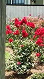 (1 Gallon) Dynamite Crape Myrtle, Showy, glorious fire-red flowers, small tree with smooth, peeling bark