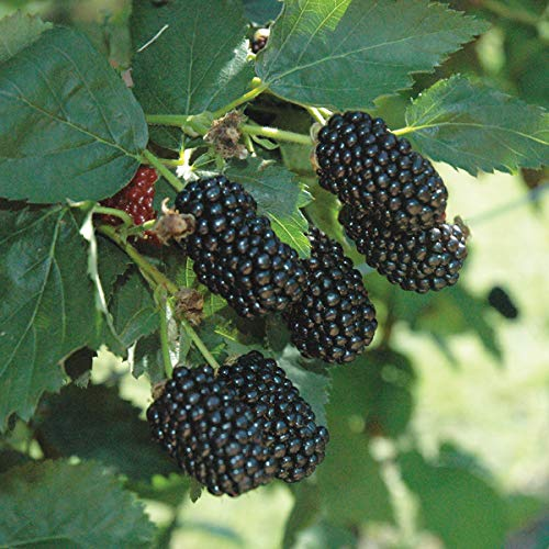 Burpee Thornless Blackberry Prime-Ark 'Freedom' shipped as FIVE BARE ROOT PLANTS ()