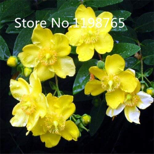 Green : Special Price Promotion! 100 Hypericum Seeds 10 Kinds Mixed Packed, Flower Seeds High Germination DIY Garden Perennial Blooming