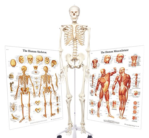 3B Scientific 3009200 Standard Human Skeleton with Skeletal System and Human Muscle Charts, Grade: 1 to 12 (Pack of 3) -