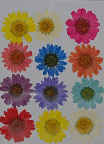 handi-kafu colorato giallo bianco rosso viola Daisy Real pressato fiori secchi