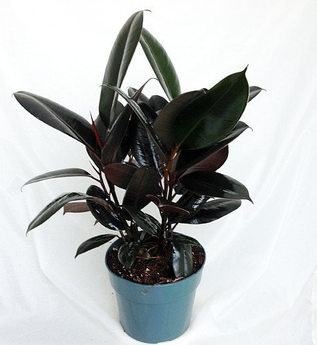 Jmbamboo -Burgundy Rubber Tree Plant - Ficus - An Old Favorite - 4