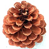 "16+ Pinecone 4"" to 5"" Tall Grown On Ponderosa Pine Trees for Indoor Outdoor Accents Anytime of Year"
