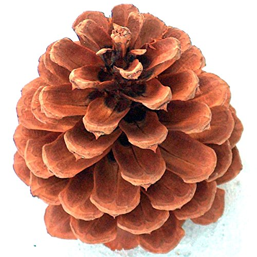 16 Premium 4 to 5 Inch Tall PineCones Grown On Ponderosa Pine Trees In Oregon Are Hand Selected From Forest Floor Ready For Your Indoor Outdoor Use