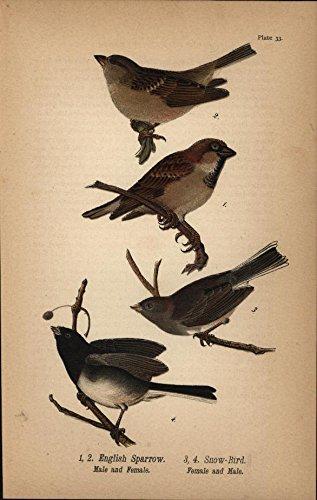 (English Sparrow Snow Bird Perched Twigs 1890 antique color lithograph Bird print)