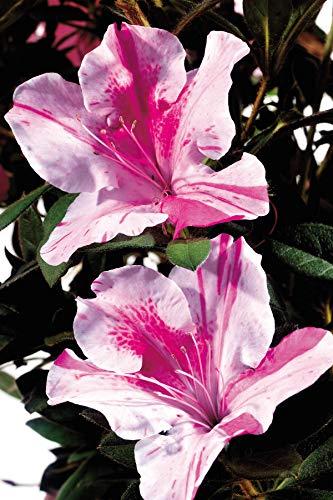 Encore Azalea | 1 Gallon Autumn Twist, Multicolor Re-Blooming Evergreen Shrub by Encore (Image #2)