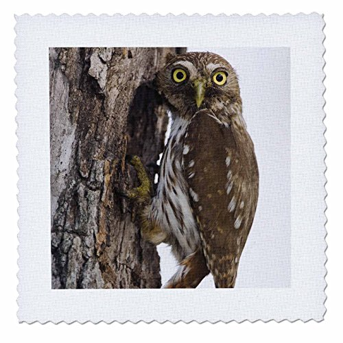 3Drose Qs 84261 1 Ferruginous Pygmy Owl At Nesting Cavity  Texas   Na02 Rnu0130   Rolf Nussbaumer   Quilt Square  10 By 10 Inch