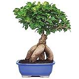 Brussel's Gensing Grafted Ficus Bonsai - Medium - (Indoor)