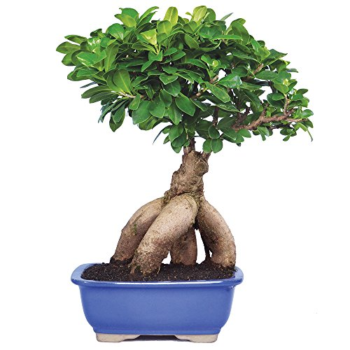 Brussel's Gensing Grafted Ficus Bonsai - Medium - (Indoor) -