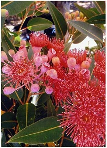 TROPICA - Eucalyptus (ficifolia) (Eucalyptus ficifolia) - 15 Samen