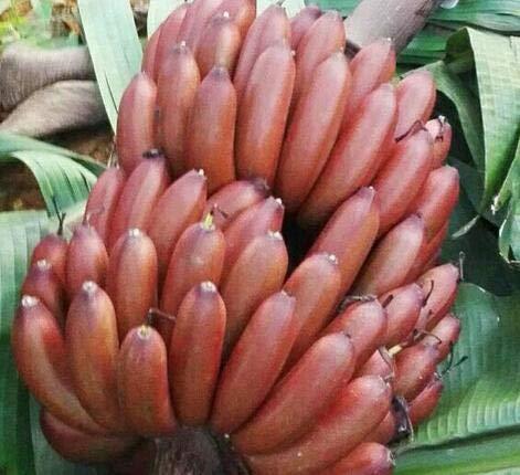 500Pcs A Set Red Banana Fruit Seeds