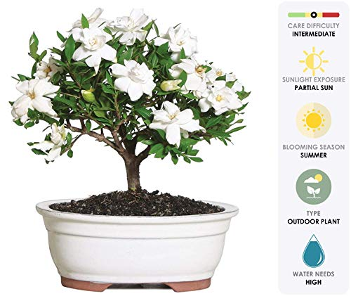Brussel's Live Gardenia Outdoor Bonsai Tree - 4 Years Old; 6