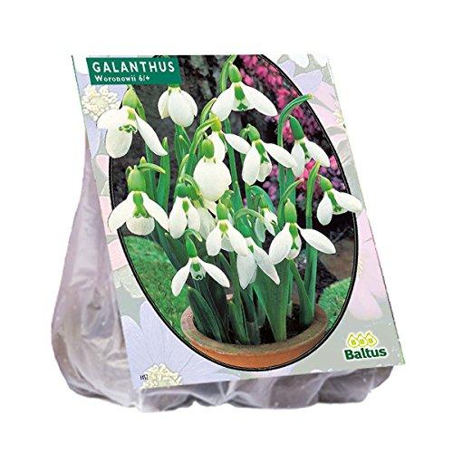 25 Stück Schneeglöckchen Galanthus Woronowii Blumenzwiebeln Pegasus Kiepenkerl
