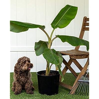 PlantVine Musa acuminata 'Ice Cream', Banana 'Blue Java' - Large (3-4ft) - 8-10 Inch Pot (3 Gallon), Live Plant : Garden & Outdoor
