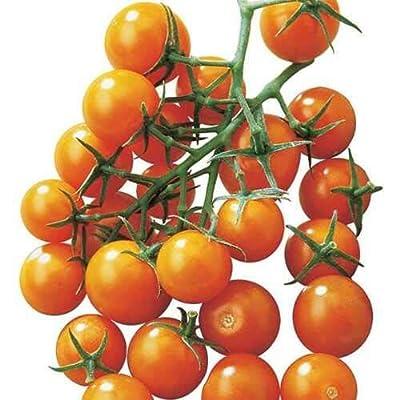 Sunsugar Hybrid Cherry Tomato Seeds – The Ultimate Yellow Golden Cherry Tomato (25 Seeds) : Garden & Outdoor