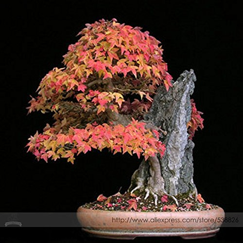 Generic 2018 Hot Sale Bonsai Trident Maple Seeds, Professional Pack, 20 Seeds/Pack, Japanese Hybrid Maple #NF928