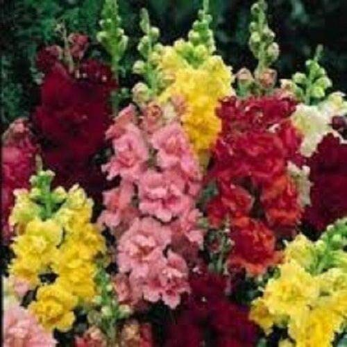 (30+ Antirrhinum Palette Mix Snapdragon/Perennial Flower Seeds)