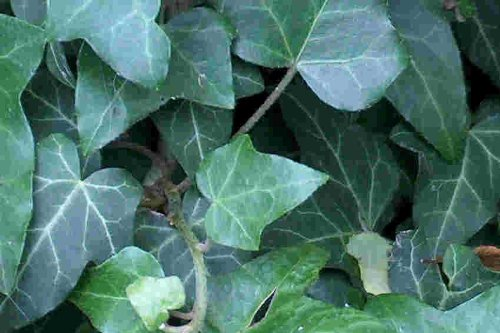 120 Efeu Stecklinge Bodendecker, Garten