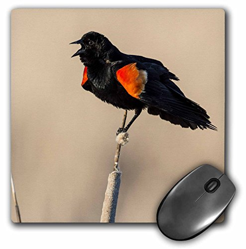 3dRose LLC 8 x 8 x 0.25 Inches Mouse Pad, Red - Winged Blackbird (Agelaius Phoeniceus) Displaying His Red Epaulets On A Common Cattail Stalk (mp_54972_1) ()