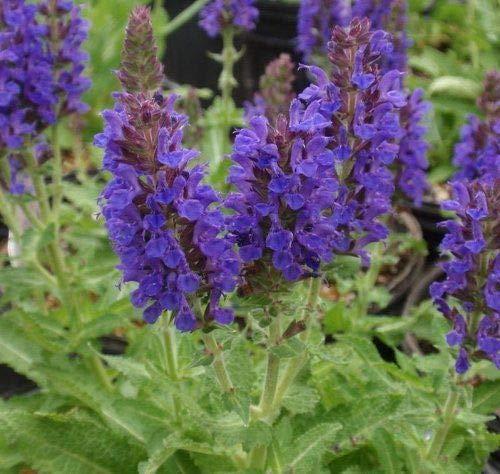 (Marcus Dwarf Salvia - Deep Dark Purple- Meadow Sage - Live Plant - Quart Pot by AchmadAnam)