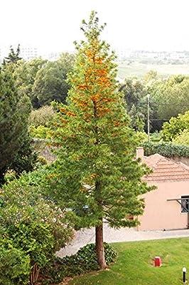 15 Seeds Silky Oak Tree, Silkoak Grevillea Robusta