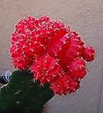 Red Moon Cactus Gymnocalycium Mihanovichii