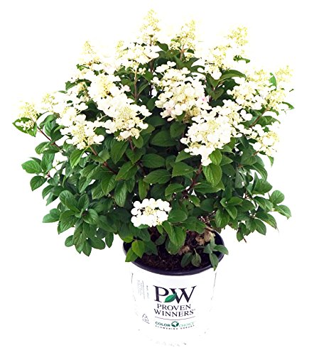 Proven Winners - Hydrangea pan. Little Quick Fire (Panicle Hydrangea) Shrub, white to pink flowers, #2 - Size Container