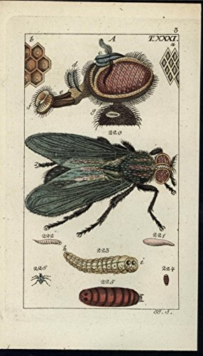 black-house-fly-honey-combs-larva-pupa-1811-antique-engraved-hand-color-print