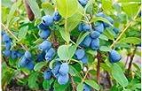LONICERA CAERULEA VAR. EDULIS 'TUNDRA' -HASKAP- EDIBLE - STARTER PLANT -DORMANT