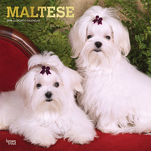 Maltese 2019 12 x 12 Inch Monthly Square Wall Calendar with Foil Stamped Cover, Animals Small Dog Breeds (English, French and Spanish Edition)