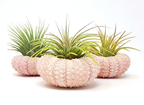 Aura Creations 3 pcs Pink Sea Urchin Air Plant Lot/Kit Includes 3 Tillandsia Plants and 3 Urchin Shells by Aura Creations