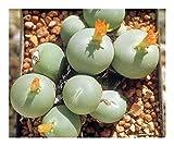 Conophytum calculus - succulent - 15 seeds