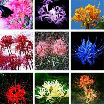 A Spinnenlilie Eden-blumen 100 St/ück Lycoris Radiata Seltene Sch/öne Topfpflanzen Mehrj/ährige Blumen DIY Haus Garten Pflanzung Mehrfarbig Erh/ältlich
