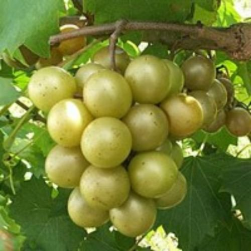 Vitis - 'Dixie' - Muscadine Grape by gray-gardens