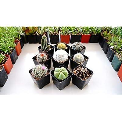 Best Selling -3 Cactus Plants in 2 inch pots - Succulent pots : Garden & Outdoor